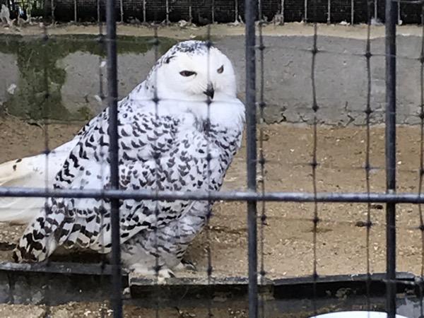 京都市動物園 シロフクロウ