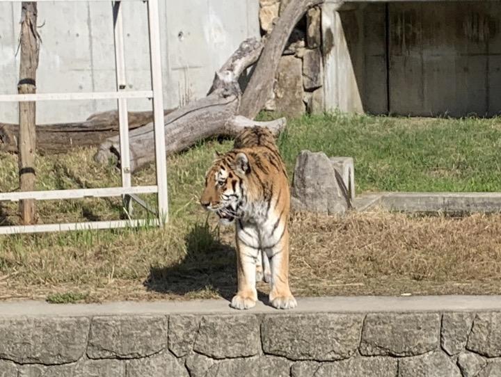 天王寺動物園 トラ